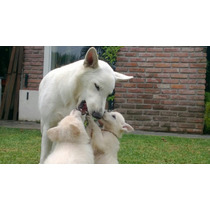 Cachorro Pastor Blanco Suizo. Ultimo!!!!