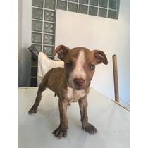 Cachorros Pitbull/red Nose