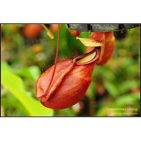 Sementes Planta Carnivora Nepenthes Viking P/ Mudas Nefentes