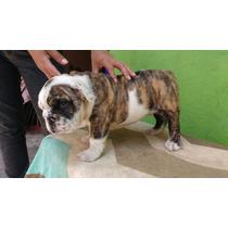 Machito Bulldog Ingles 2 Meses Cartilla De Vacunacion Y Pedi