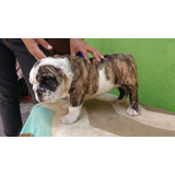 Machito Bulldog Ingles 2 Meses Cartilla De Vacunacion Y Pedi