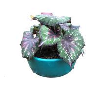 Begonia Rex, Planta.