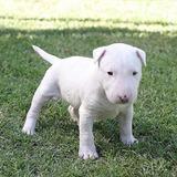Bull Terrier Ingles Cachorros