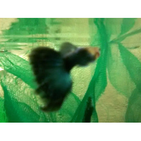 Guppy Half Black Blue Neon - Jovens Disponíveis - Lebiste