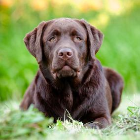 Labrador - Como Criar Seu Filhote (frete Gratis) + Brinde!