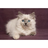 Hermosos Gatos Ragdoll Clasicos Y Blue Point¡¡¡
