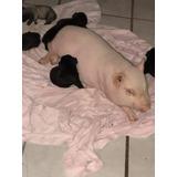 Mini Pig De 5 Meses..