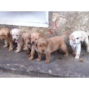 Cachorros Labrador Golden Retriever