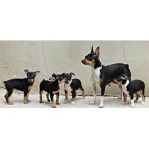 Fox Terrier Ratoneros Toy