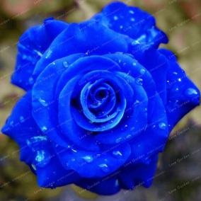 200 Sementes De Rosa Azul (raras Exóticas )p/ Mudas