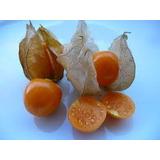 Physalis Fruta Exótica 200 Sementes