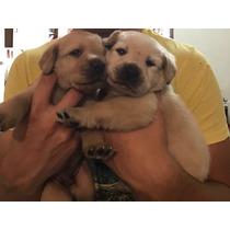 Cachorritos Labrador Hijos De Campeón/ Calidad Exposición.
