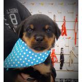 Rottweiler Macho Cabeça De Touro, Com Pedigree E Vacinado