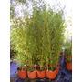 Bambú Planta Tupida !!! Envíos Capital Y Bs As Puerto Jardín