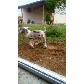 Dog, Dogue Alemao Filhotes Vacinados