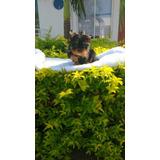 Hermoso Cachorro Yorkshire Terrier 2 Meses Y Medio Favorable