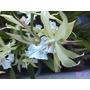 Orquideas Miltonias Flavescens