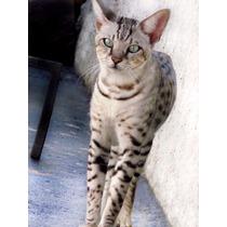 Filhotes De Gato Savannah