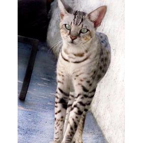 Filhotes De Gato Savannah (em Breve)
