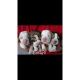 Cachorro De Beagle Recién Nacidos