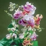 5 Vigna Caracalla-trepadeira Caracol-exótica-sementes