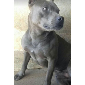 American Pitbull Terrier, Blue Nose/ Lilac