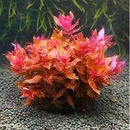 Rotala Macandra Red - Aquaplante - In Vitro