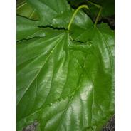Folhas De Amora Frescas Para Chá Mais Eficiente