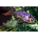 Venta De Goldfish Shubukin
