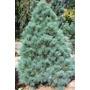 10 Gramos De Semillas Pinus Ayacahuite - Pino Navideño $50.