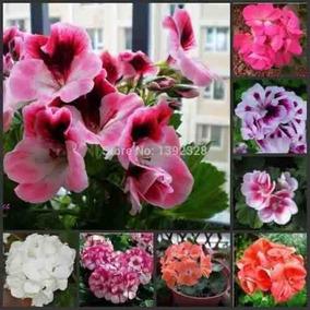 30 Sementes Kit Gerânio Planta Flores Bonsai # Envio Gratis