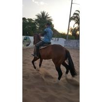 Cavalo Quarto De Milha Puro Vaquejada