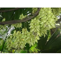 1 Semente Jade-mucuna Birdwoodiana-trepadeira Rara