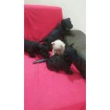 Scottish Terrier Aberdeen Escoses Con Certificado Cachorros