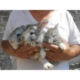 Conejos Gigantes De Flandes.