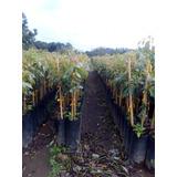 Planta De Aguacate Hass ( A Partir De 250 Plantas)