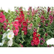 15 Sementes De Malva Rosa - Malvavisco - Alcea Rosea - Flor