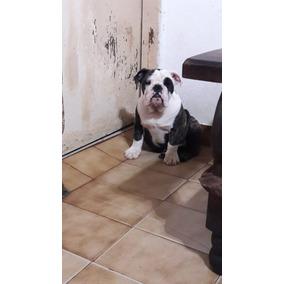 Bulldog Ingles Cachorros Con Fca !!!!!! 25 Mil