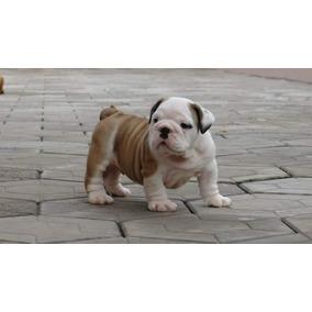 Filhote De Bulldog Inglês/em-são Paulo