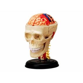Crânio E Sistema Nervoso Modelo Anatomia P/ Ensino -promoção
