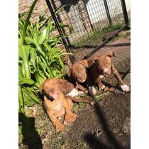 Cachorros Hembra Pitbull Americano Padres Fca-criadero Royal