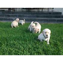 Vendo Cachorritos Golden Vacunados Y Desparasitados