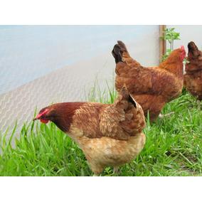 1 Duzia Com 15 Ovos Galados Embrapa 51 Pura Poedeira