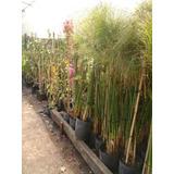 Planta Papiro 10 Litros