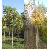 Fresno Dorado 8-10 Cm Circunsf. 180-210cm Vivero Iris