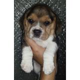 Hermosos Beagle Machos Tricolores! Entrega 12/9. Vacunados