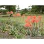 Aloe Vera Maculata Plantas Adultas Listas Para Utilizar