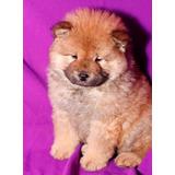 Chow Chow Cachorros En Adopción