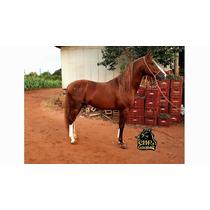 Cavalo Paulista Pisador
