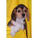 Beagle 5 Meses,macho,tatuaje,chip,garantia De Vida Excelente